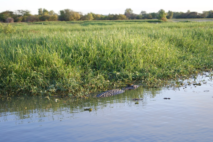 Big male saltey. The day we were there an earlier boat saw a 4.5 mtre croc grab a stillborn foal from the bank.