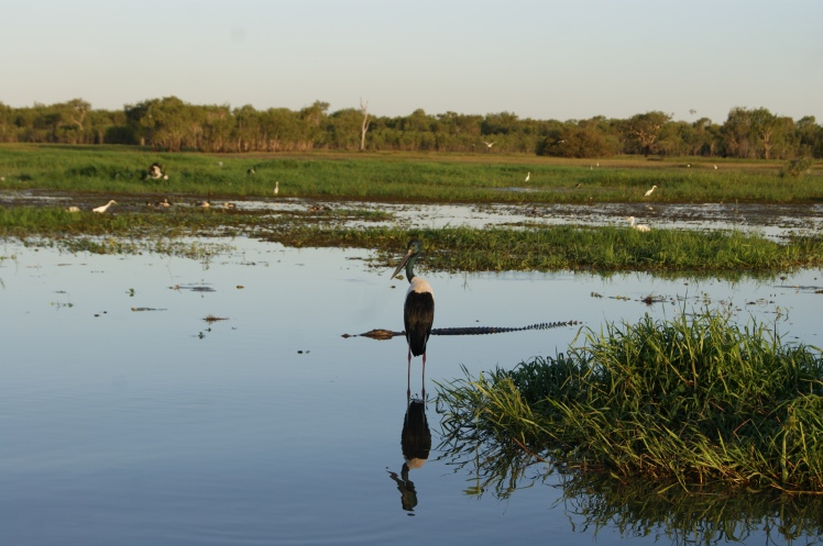 The jabiru's are delightful. Not so sure about the crocs!