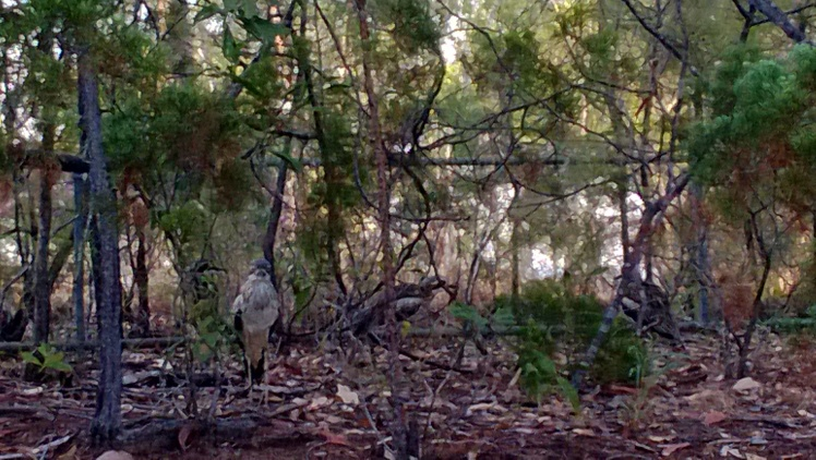 Our 4 resident curlews in Darwin